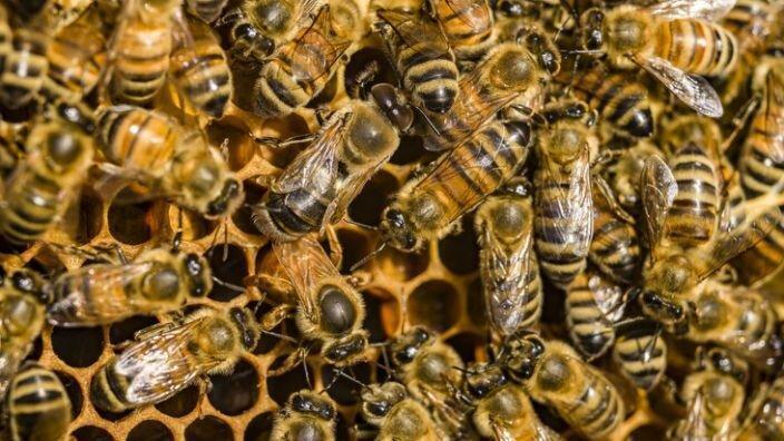 زهر زنبور عسل برخی سلول های سرطان پستان را می کشد