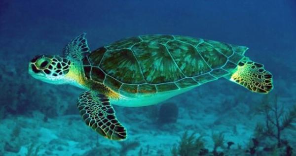 تدوین برنامه اقدام ملی حفاظت از لاک پشت های دریایی