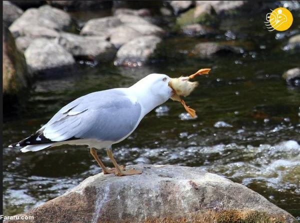 مرغ دریایی، پرنده ای که شکار را می بلعد!