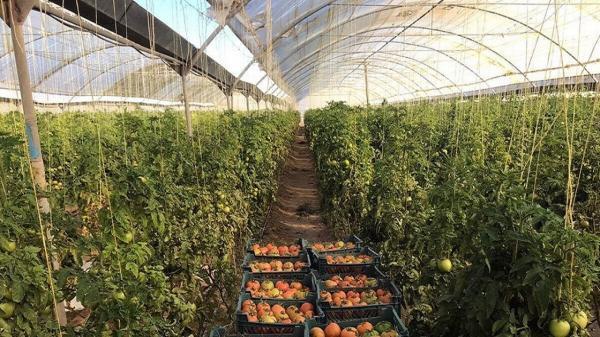 افزایش سطح زیر کشت گلخانه ها در شهرستان سیب و سوران